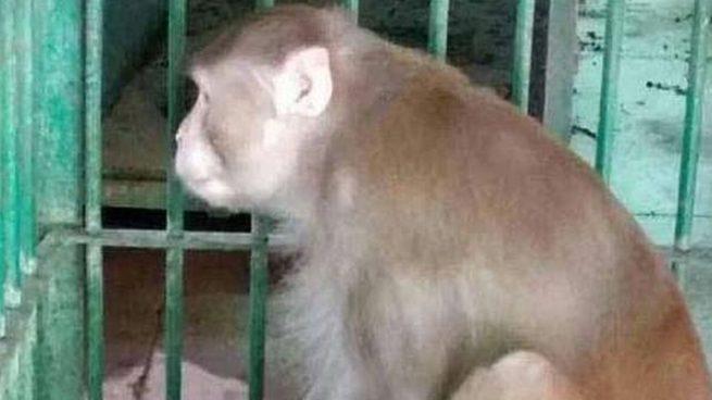 Condenan a cadena perpetua a un mono borracho en La India