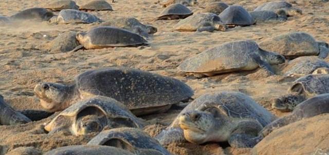 VÍDEO. Captan la mayor concentración de tortugas verdes del mundo