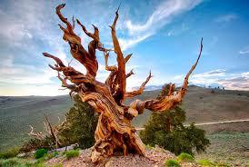 El misterio del árbol de más de 5 mil años que no se sabe dónde está