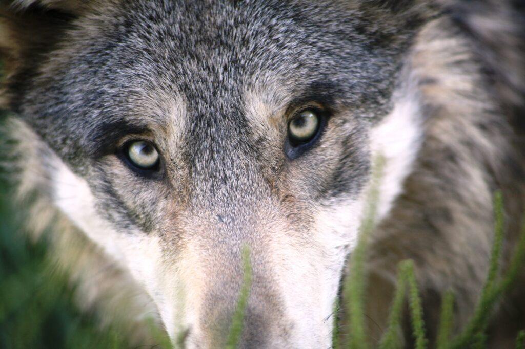 ¿Por qué hacen falta balas de plata para acabar con el Hombre lobo?