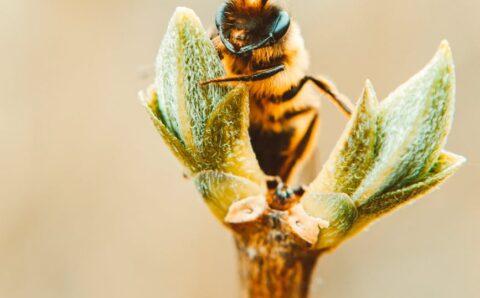 Las abejas tienen acentos
